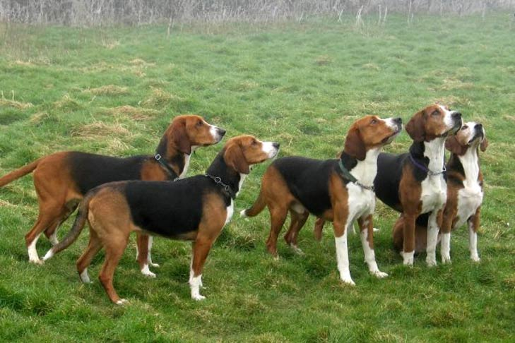 Pack of Hamiltonstovare dogs standing in a grassy field