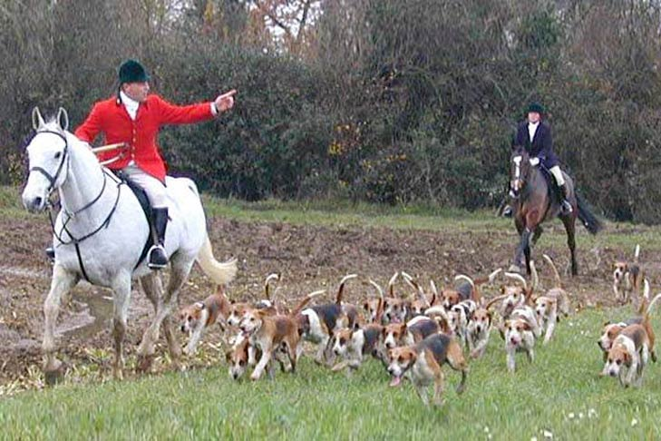 A hunting pack of Harriers running next to two English horse and riders through a grassy field