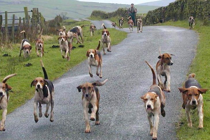 A pack of Harriers spread out and running down a paved path