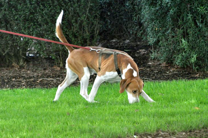 Harrier walking and sniffing in grass on leash