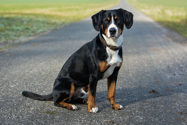 Entlebucher Mountain Dog sitting on a paved path facing right, head turned forward