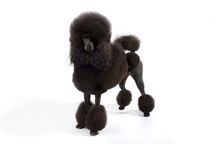 Standard Poodle Standing