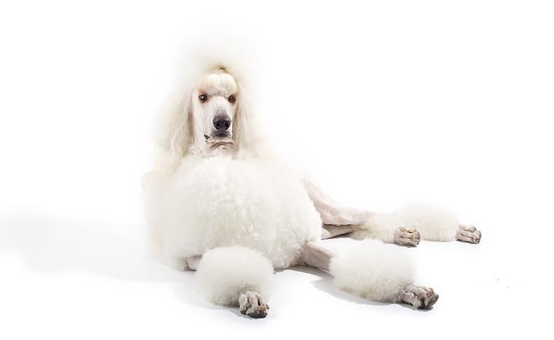 Standard White Poodle Sitting