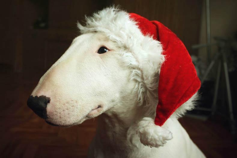 Bull Terrier in a Santa Hat
