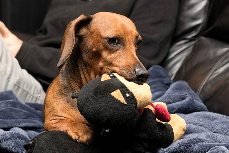 Dachshund with Toy