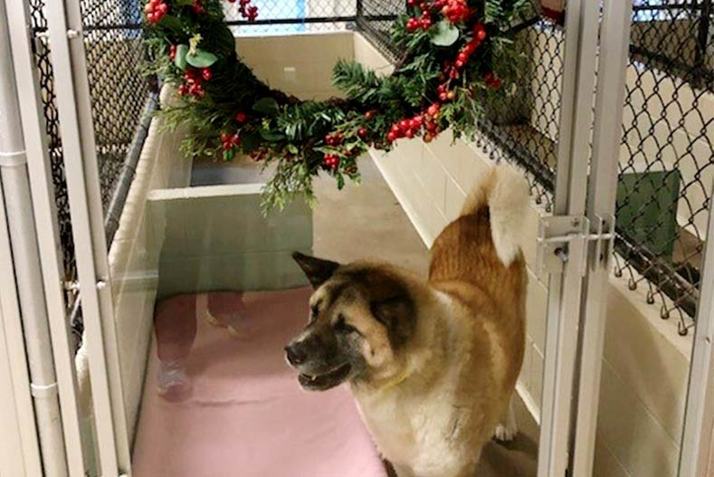 Kennel Decorated for the Holidays with an Akita