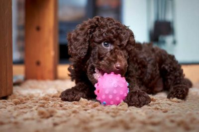 Toy poodle with toy
