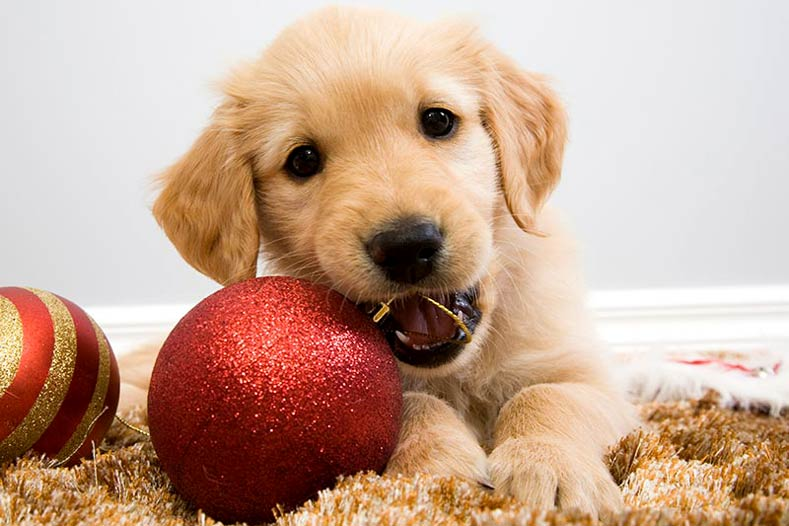 Golden Retriever Puppy with Holiday Ornaments