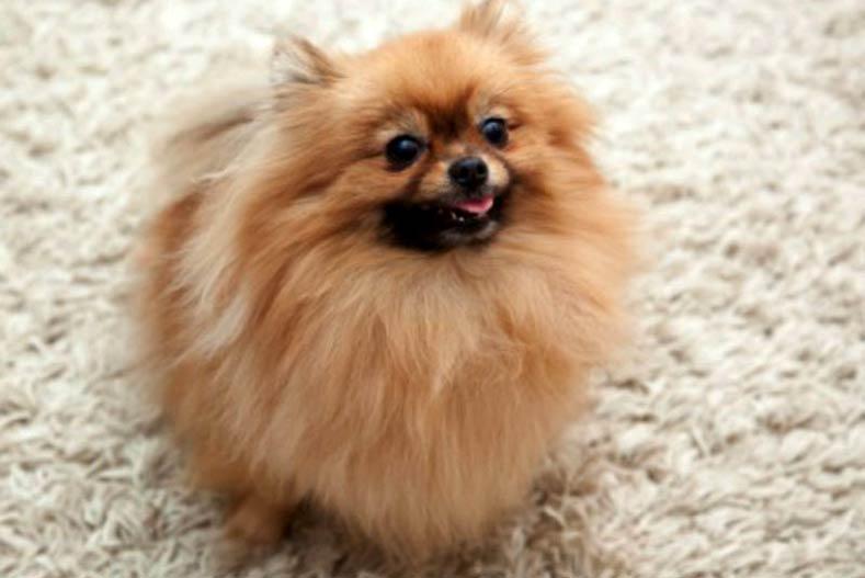 Pomeranian at Home