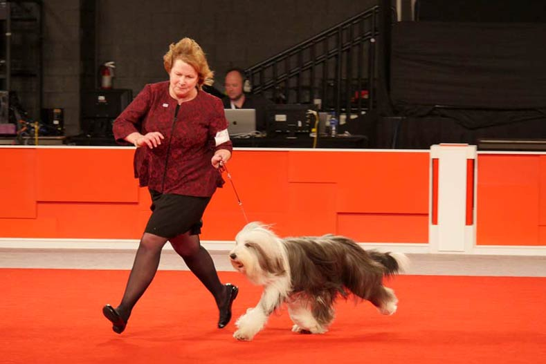 2017 Ellee the Bearded Collie National Owner-Handled Series NOHS Winner