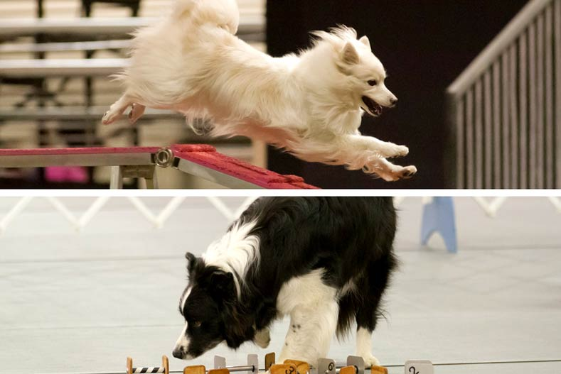 Agility and Obedience Competition 2017