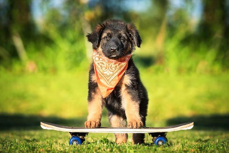 German Shepherd Puppy in a Bandanna on a Skateboard