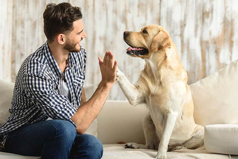 Yellow Labrador Retriever Giving a Man a High Five