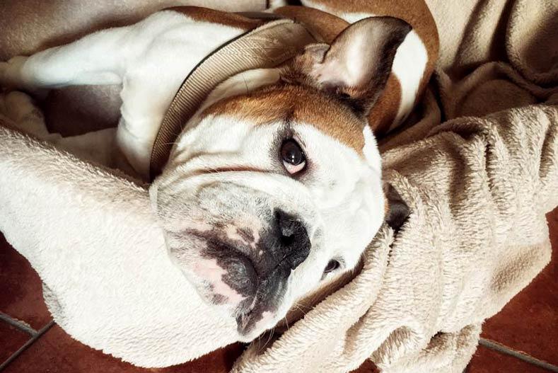 Bulldog Napping Memory