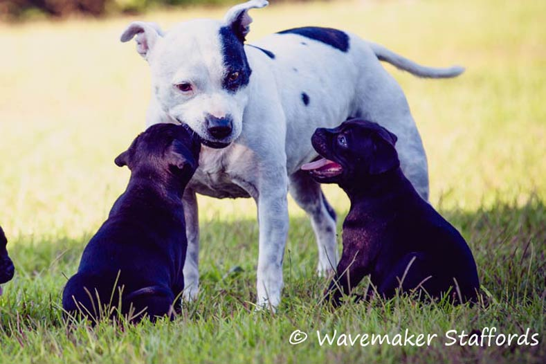 Wavemaker Staffordshire Bull Terrier Puppies Playing
