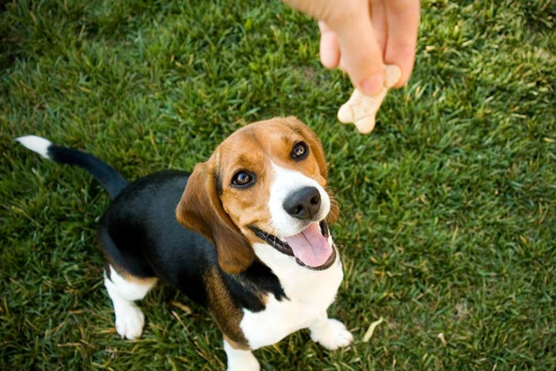Beagle Getting a Treat