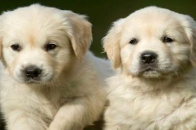 Brucellosis Puppies Zoetis