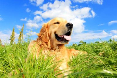 Holistic Care Calmz Golden Retriever