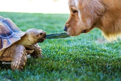Golden Retriever Cricket and Tortoise Larry Are BFFs