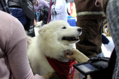 Westminster Meet & Compete Samoyed