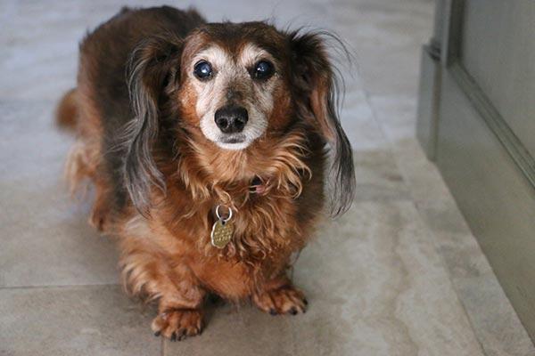 dachshund-cataracts