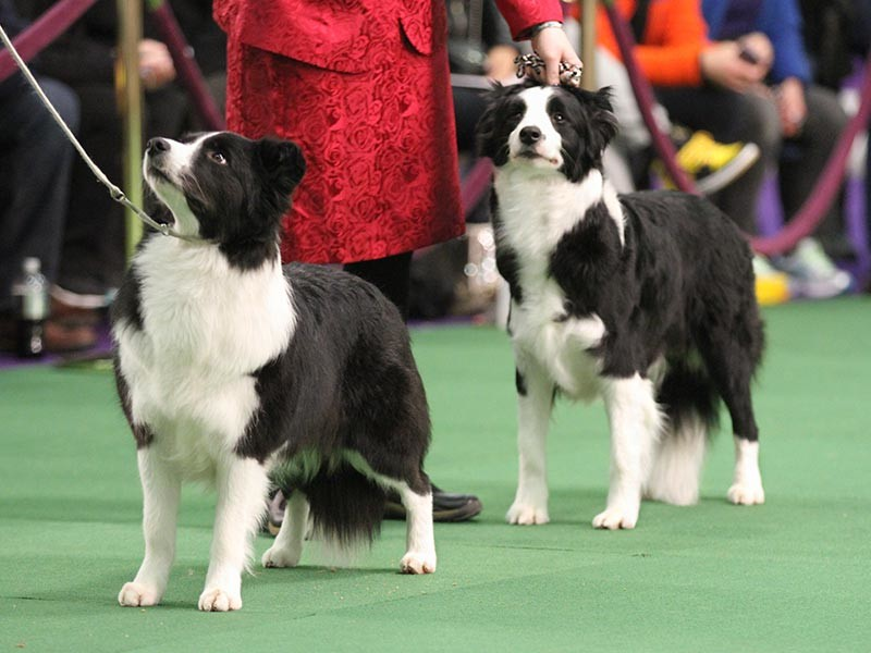 Bull Terrier Select Dog At  Westminster Dog Show