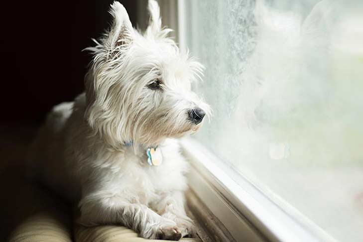westie-looking-out-window-header