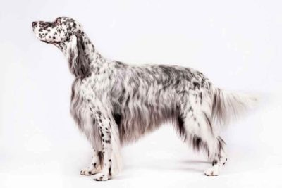 Dog Weight English Setter