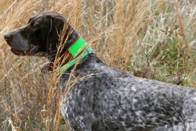 Field Dog Museum German Shorthaired Pointer