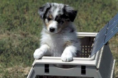 PETS Act Australian Shepherd Puppy