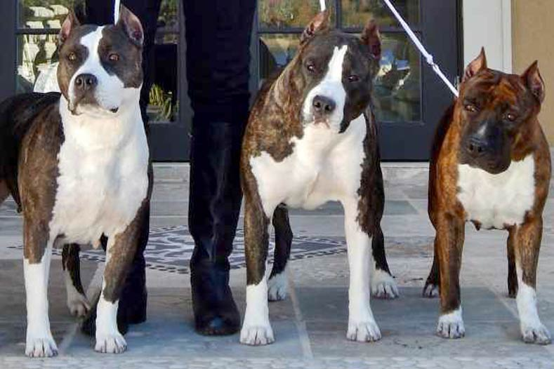 Breed Bans American Staffordshire Terrier