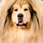 Tibetan Mastiff Westminster