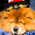 Chow Chow Westminster