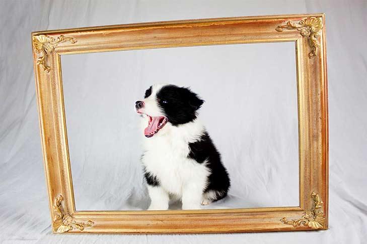 border-collie-puppy-with-frame-header