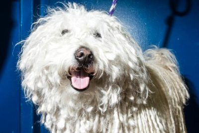Komondor Meet the Breeds