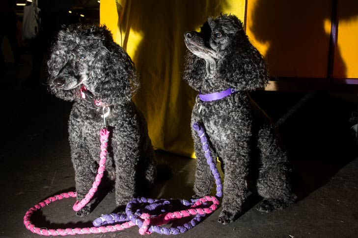 Miniature Poodles Meet the Breeds