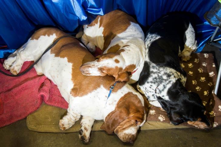 Basset Hounds Meet the Breeds