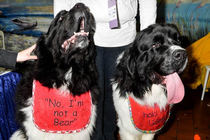 Two Newfoundlands Meet the Breeds