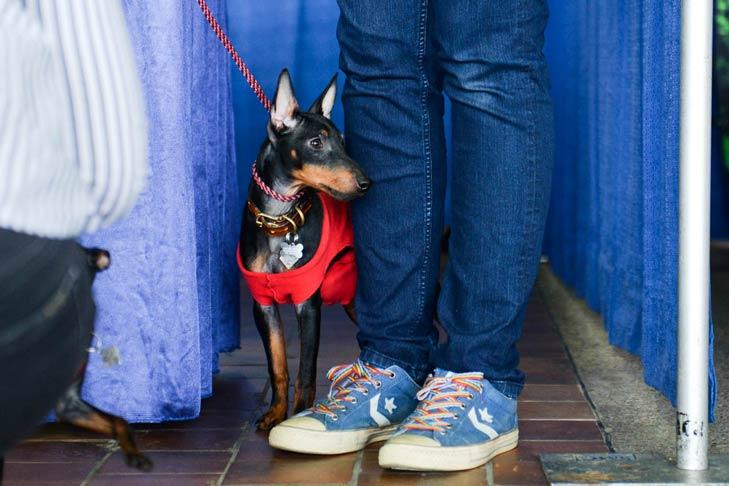 Manchester Terrier Meet the Breeds