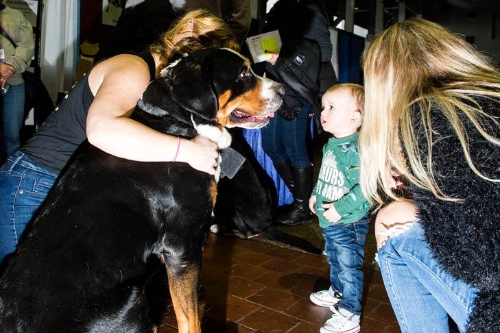 Greater Swiss Mountain Dog Meet the Breeds