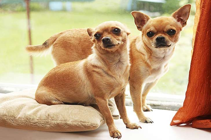 two-chihuahuas-by-window-header