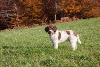 lagotto-romagnolo-standing-in-field-header