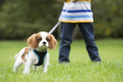 cavalier-king-charles-spaniel-on-leash-header