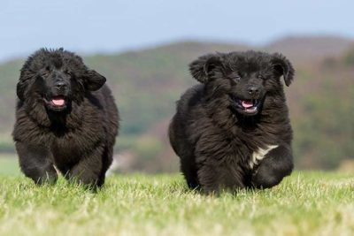 Two-Newfoundland-puppies-running-outside-header