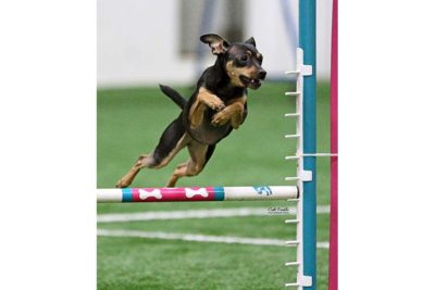 Maeby-Theis-small-mix-breed-agility-MACH-PS