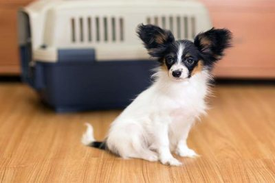 papillon-nervous-near-carrier-crate-header