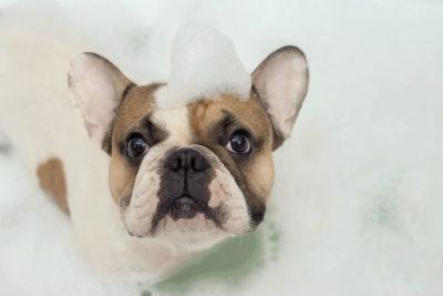 french bulldog in the bath
