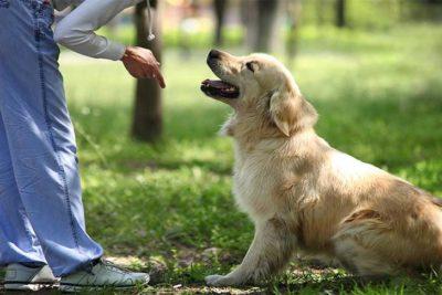 golden-retriever-puppy-sit-and-stay-header