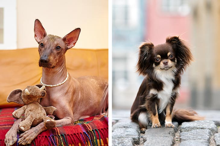 An Introduction to Mexican Dog Breeds: The Xoloitzcuintli and Chihuahua