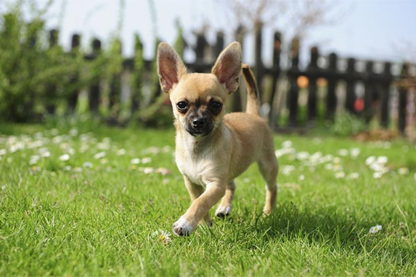 chihuahua-fenced-yard-body